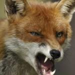 Red-fox-1904779